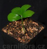 http://www.carniflora.cz/files/200/zamia-pygmaea%5B2%5D.jpg